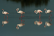 Greater Flamingos (Phoenicopterus ruber)<br /> about 25,000-30,000 flamingos over winter in Do&ntilde;ana but very few breed there as the wetlands dry up before the chicks are completely grown.<br /> Marsh in El Roc&iacute;o Town<br /> Do&ntilde;ana National &amp; Natural Park. Huelva Province, Andalusia. SPAIN<br /> 1969 - Set up as a National Park<br /> 1981 - Biosphere Reserve<br /> 1982 - Wetland of International Importance, Ramsar<br /> 1985 - Special Protection Area for Birds<br /> 1994 - World Heritage Site, UNESCO.<br /> The marshlands in particular are a very important area for the migration, breeding and wintering of European and African birds. It is also an area of old cultures, traditions and human uses - most of which are still in existance.<br /> <br /> Mission: Iberian Lynx, May 2009<br /> &copy; Pete Oxford / Wild Wonders of Europe<br /> Zaldumbide #506 y Toledo<br /> La Floresta, Quito. ECUADOR<br /> South America<br /> Tel: 593-2-2226958<br /> e-mail: pete@peteoxford.com<br /> www.peteoxford.com