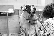 MR. SAGGERS, IKE, Crufts, Olympia. London. 1987.