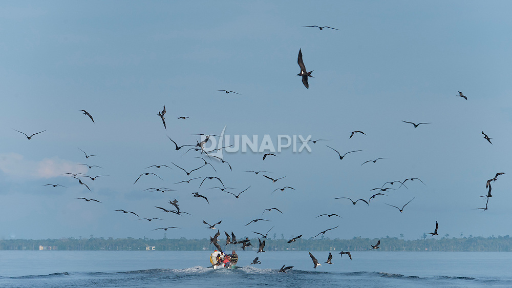 Frigate birds chase bycatch thrown back to sea from a bagan runner boat, heading to market