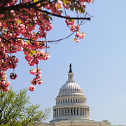US Capitol Building with pink flowers and clear blue sky. Shallow depth of field with focus on the Capitol Dome.
