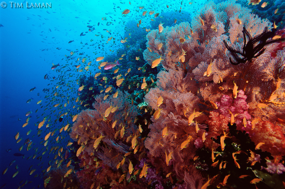 Anthiases swimming over a reef  covered in sea fans and soft corals. Primarily Lyretail Anthias (Pseudanthias squamipinnis)   .Vatu-i-Ra, Fiji.  Note many orange colored females, and scattered pink colored males.