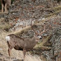 wide trophy mule deer buck walking though rocks