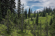 Subalpine firs, meadow and hikers along Naches Peak Loop Trail.
