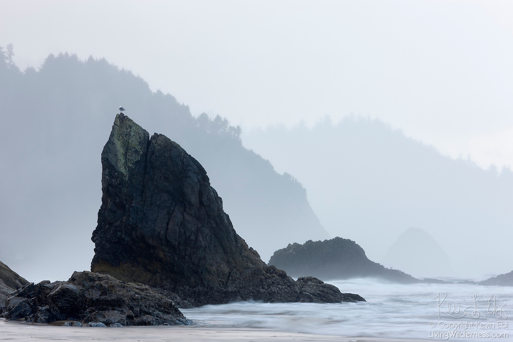 A western gull (Larus occidentalis) rests on one of the sea stacks at Hug Point on the Oregon coast.