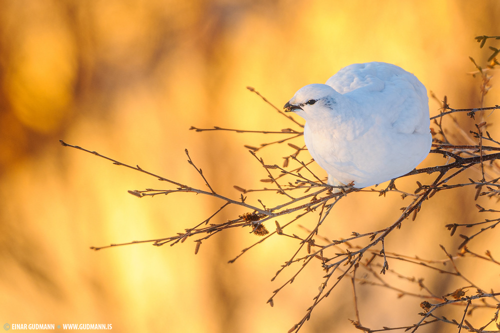 Ptarmigan sitting on a branch in sunrise.