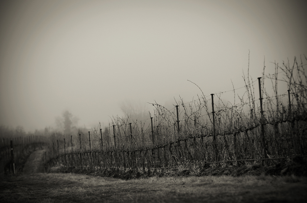 Winter grape vines in Walla Walla Washington