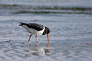 South Island Pied Oystercatcher, New Zealand