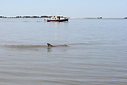 Bottlenose Dolphin and party boat in the inter coastal waterway of Jekyll Island