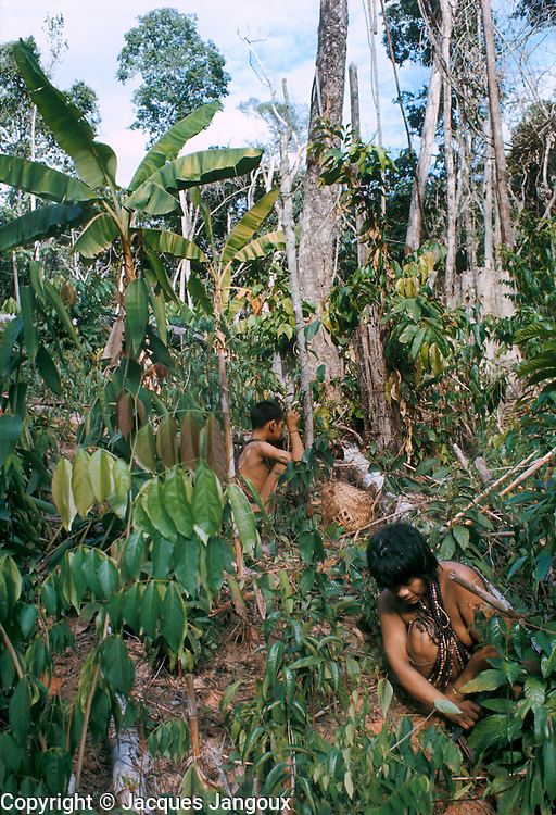 Slash-and-burn agriculture by Indians of Guiana Highlands of Venezuela: womand and girl harvesting sweet potatoes; banana plants at upper left.