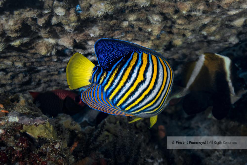 Royal angelfish-Poisson-ange royal (Pygoplites diacanthus), Nusa Penida island, Bali, Indonesia.