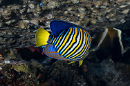 Royal angelfish-Poisson-ange royal (Pygoplites diacanthus), Nusa Penida island, Bali, Indonesia.