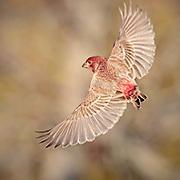 Male House Finch in Flight