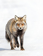 A Wyoming Cross Fox.  Cross foxes are thought to be half silver fox and half red fox.