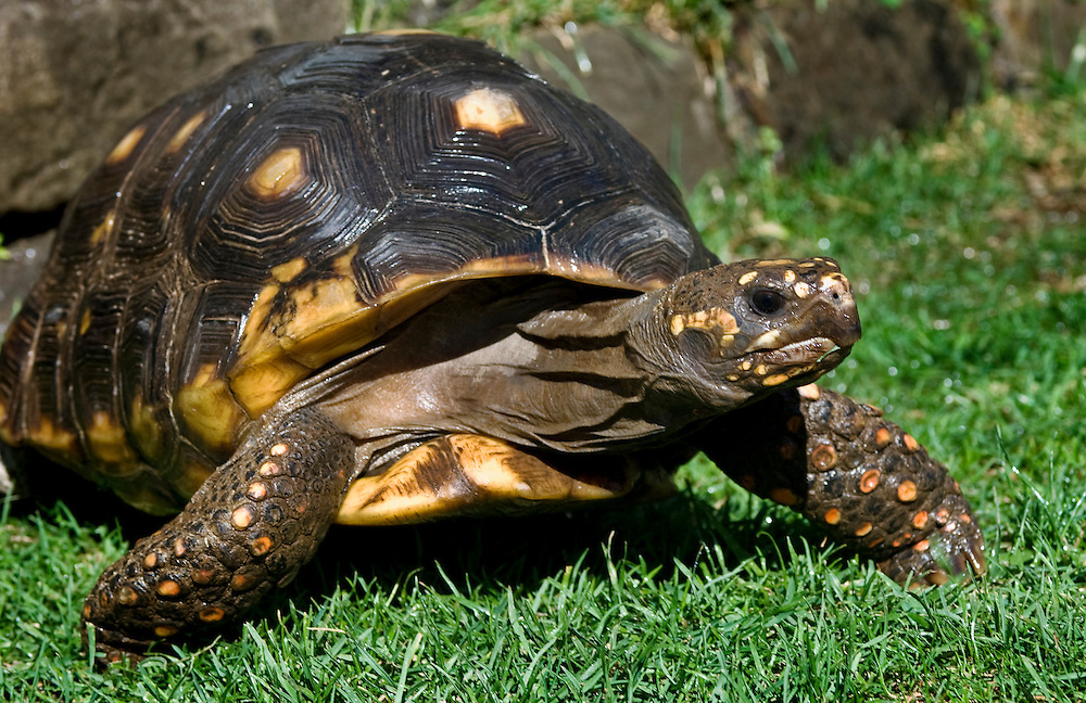 The red-footed tortoise is found throughout extreme southern Central America, and central and northern South America including the countries of Panama, Colombia, Venezuela, Guyana, Surinam, French Guyana, Brazil, Bolivia, Paraguay, and Argentina.