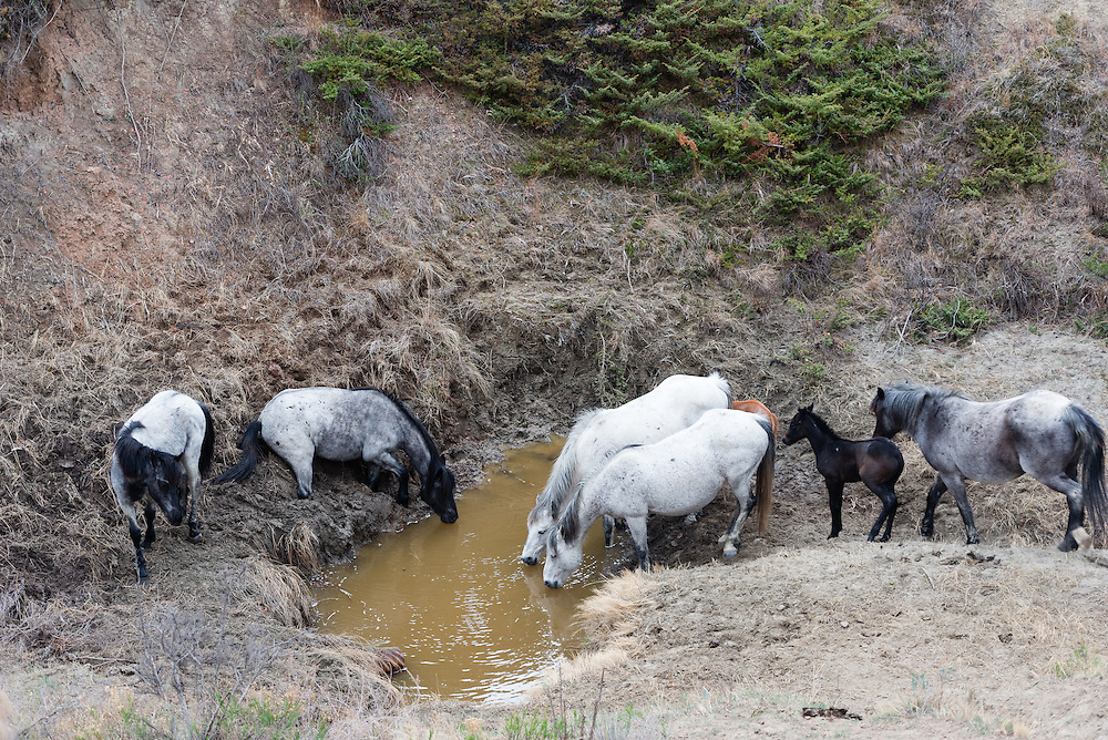 Theodore Roosevelt National Park lies in western North Dakota, where the Great Plains meet the rugged Badlands. It's great habitat for bison, elk and prairie dogs. The Little Missouri River flows through the park. <br />