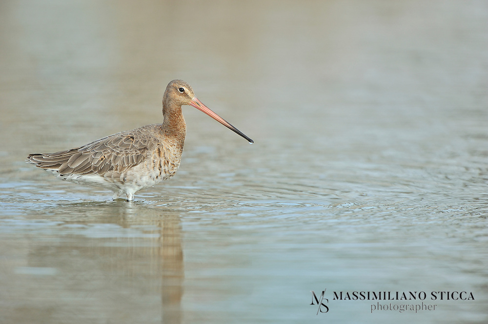 The Black-tailed Godwit (Limosa limosa) is a large, long-legged, long-billed shorebird first described by Carolus Linnaeus in 1758. It is a member of the Limosa genus, the godwits. There are three subspecies, all with orange head, neck and chest in breeding plumage and dull grey-brown winter coloration, and distinctive black and white wingbar at all times..Its breeding range stretches from Iceland through Europe and areas of central Asia. Black-tailed Godwits spend winter in areas as diverse as the Indian Subcontinent, Australia, western Europe and west Africa. The species breeds in fens, lake edges, damp meadows, moorlands and bogs and uses estuaries, swamps and floods in winter; it is more likely to be found inland and on freshwater than the similar Bar-tailed Godwit. The world population is estimated to be 634,000 to 805,000 birds and is classified as Near Threatened.