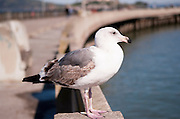 A seagull looks out from the pier in San Francisco.