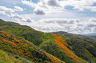 California poppies color the hillside on a beautiful cloudy day in  Lake Elsinore, California.