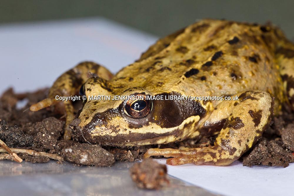 European Common Brown Frog, Rana Temporaria