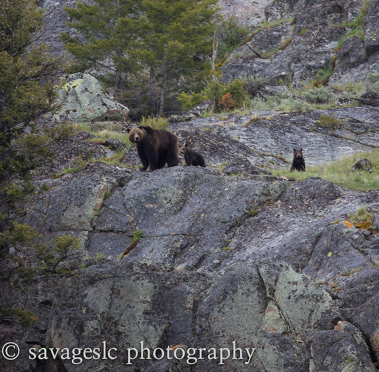 Grizzly bear and cubs looking out from the cliff tops. Yellowstone National Park <br />