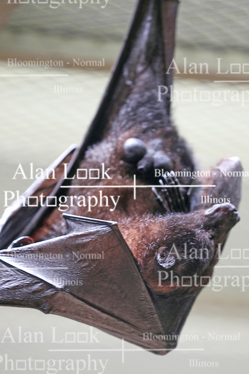 14 May 2013:  Island Flying Fox bat. This animal is a captive animal and well cared for by a zoo.