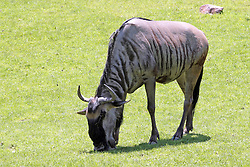 14 May 2013:  Wildebeest. This animal is a captive animal and well cared for by a zoo.