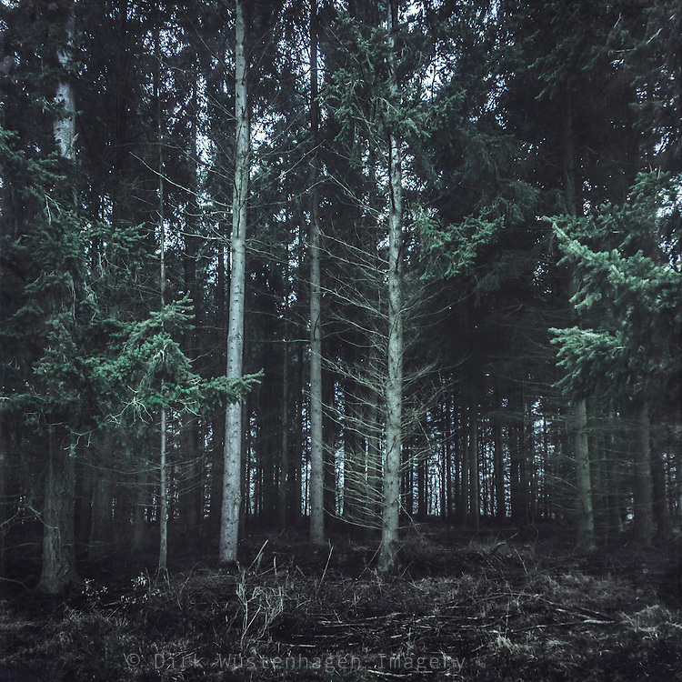 Dark fir forest<br /> Society6 products:https://society6.com/product/darkwoood-cmz_print#s6-4648578p4a1v45<br /> <br /> REDBUBBLE prints: http://www.redbubble.com/people/dyrkwyst/works/22296819-darkwood?p=canvas-print&amp;rel=carousel