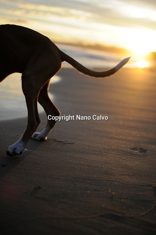 Cute 4 months old dog on the beach, at sunset