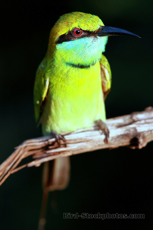 Green Bee-eater, Merops orientalis, Yala National Park, Sri Lanka, by Adam Riley