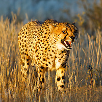 Cheetah stalking.