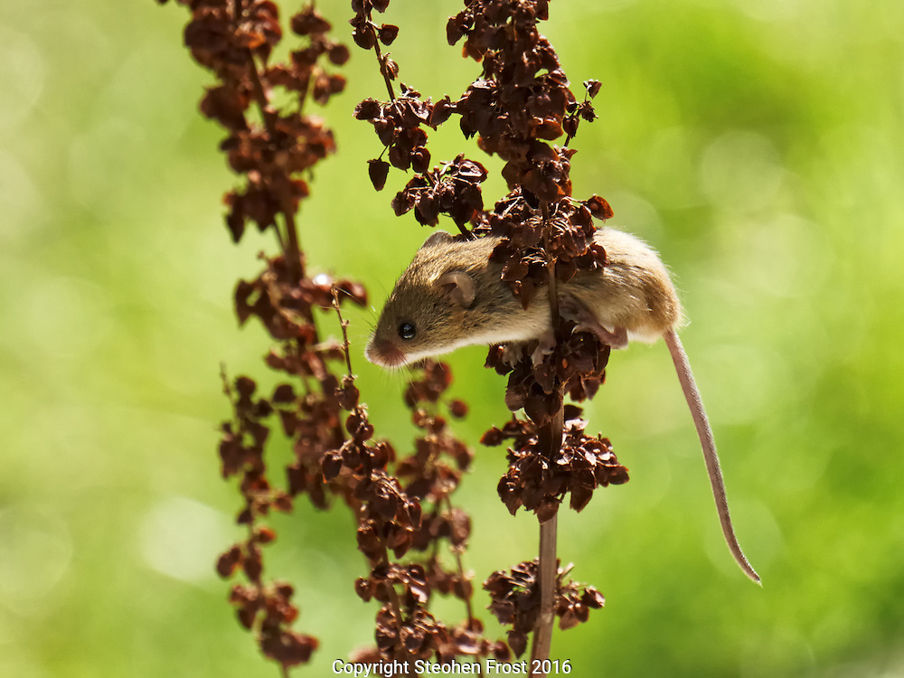 A tiny Eurasian Harvest Mouse (Micromys minutus) hangs about in Sussex, England.