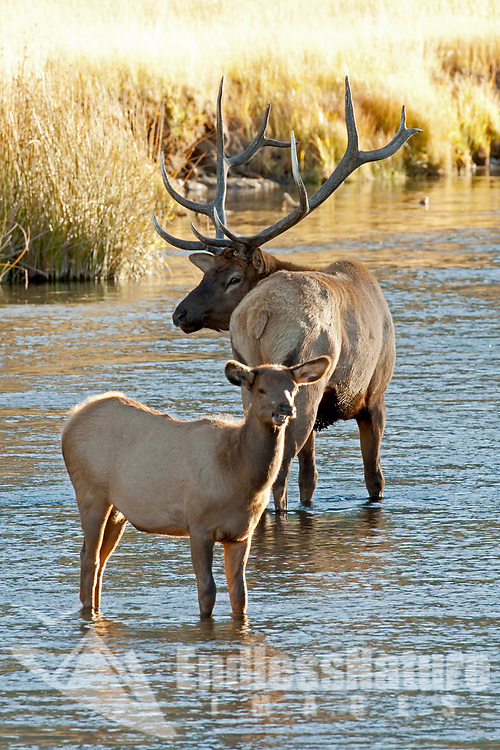 A Bull Elk and yearling calf elk stop for a minute in a small creek in the shade of a cottonwood tree.