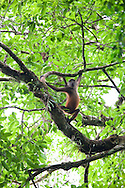 A wild Geoffroy's Spider Monkey (Ateles geoffroyi) is alerted to the presence of an approaching Puma in the Costa Rican jungle