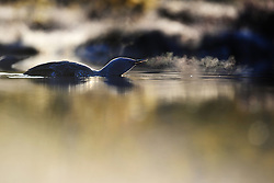 Red-throated Diver (Gavia stellata)