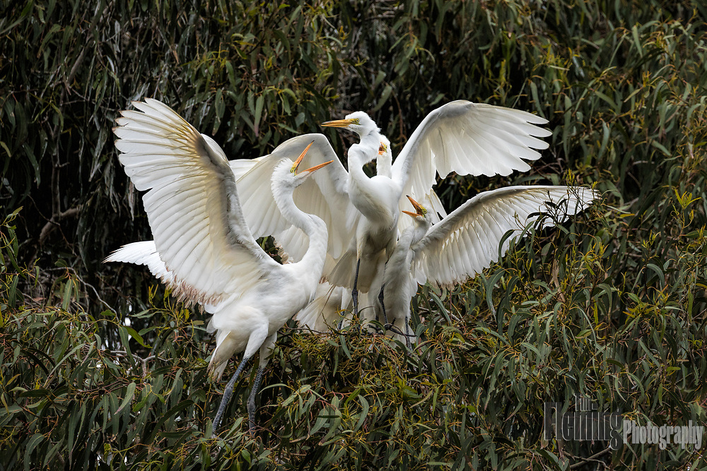 Great egrets competing for food in the Laguna de Santa Rosa, California