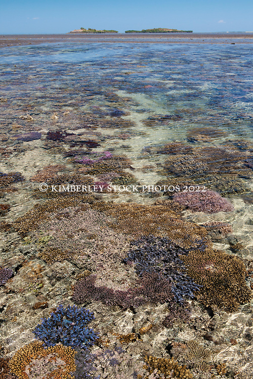 A stunning coral garden on Montgomery Reef in Collier Bay.  A large variety of corals are exposed as the tide falls.  These corals have adapted to significant variations in temperature between the wet and dry seasons on spring and neap tides.
