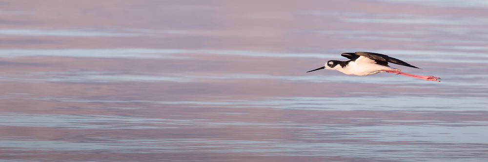 Black-necked stilt in flight in early light with gentle waves in background, © 2011 David A. Ponton