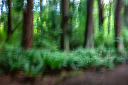 Intentional camera movement creates an impressionisic view of a stand of mature trees in the forest at Edith Moulton Park, Kirkland, Washington.