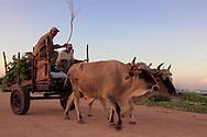 Oxen in Caletones, Holguin, Cuba.