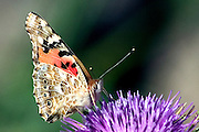 butterfly on a Silybum marianum Israel April 2004