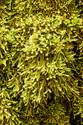 Weavy-leaved Cotton Moss: Note this was on a trunk and not on ground or stump.  NOT SURE OF ID