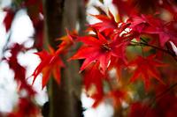 A dried maple leaf lays snuggled in autumn foliage.
