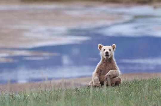 Alaskan Brown Bear, (Ursus middendorffi) Young cub sitting on rump near tidal flats, Katmai National Park. Alaska.