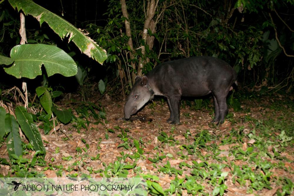 Baird's Tapir, Central American Tapir (Tapirus bairdii: Tapiridae) - Thorl eating bananas<br /> COSTA RICA<br /> Corcovado National Park<br /> Sirena Biological Station<br /> 10-Feb-2007<br /> J.C. Abbott &amp; K.K. Bauer