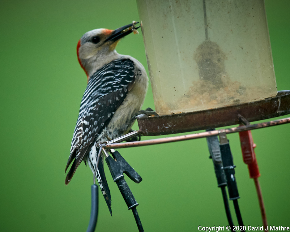 Female Red-bellied Woodpecker. Image taken with a Nikon D5 camera and 600 mm f/4 VR lens (ISO 1600, 600 mm, f/5.6, 1/320 sec)