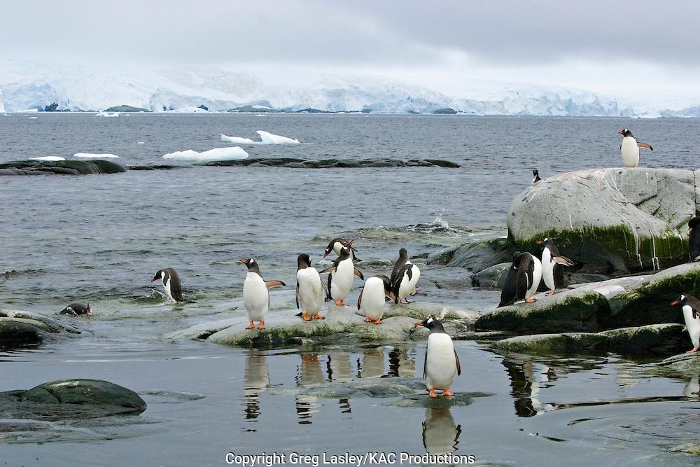 Gentoo Penguins.Peterman Island, Antarctica.30 Januaey 2003