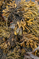 Seaweed on Inis Oirr Island the Aran Islands County Galway Ireland
