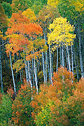 aspen trees, McClure Pass, Colorado