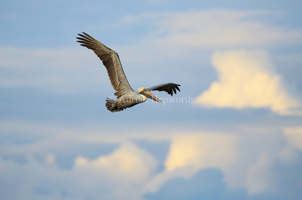 Brown Pelican (Pelecanus occidentalis) flying. Playa Mansita, Guanacaste, Costa Rica.<br />