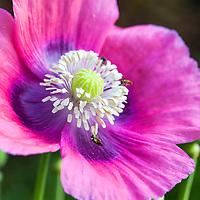 Pollinators working on a pink and purple Opium or Bread poppy ( Papaver somniferum)